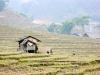 Вьетнам, Сапа, рисовые поля