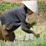 Работа в полях, выращивание риса