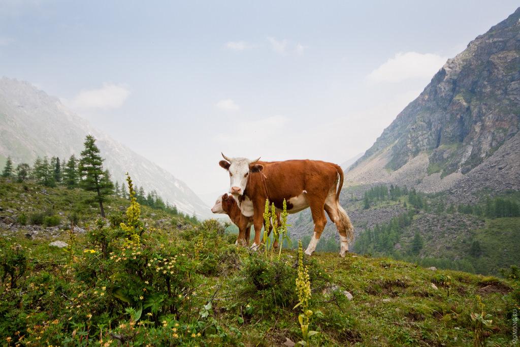 Коровы в горах